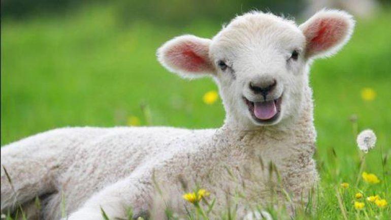 Ziraat bankası 300 koyun kredisi 2019-2020 şartları nedir ?