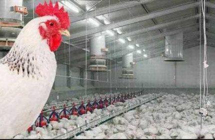Tavuk Çiftliği Kredisi (Ziraat Bankası Devlet Hibe Desteği)