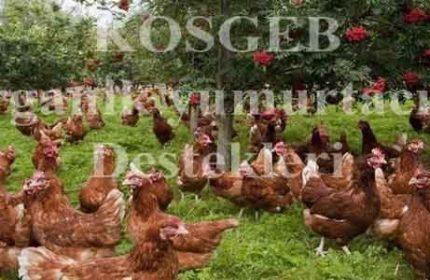Organik Yumurta Tavukçuluğu Kredisi Nasıl Alınır? (7.500.00 TL!)