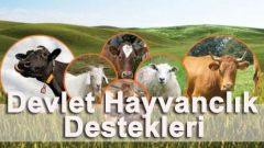 Devlet Hayvancılık Destekleri Nasıl Alınır? (100.000 Lira HİBE!)