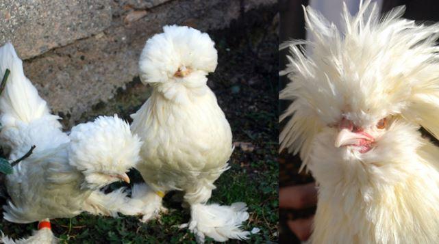 Osmanlı saray tavuk cinsi görünümü