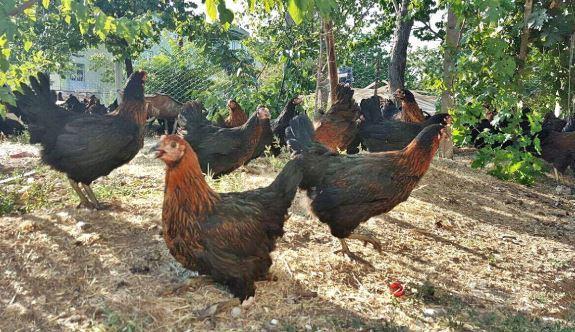 En çok yumurta veren Atak-s yerli tavuğumuz
