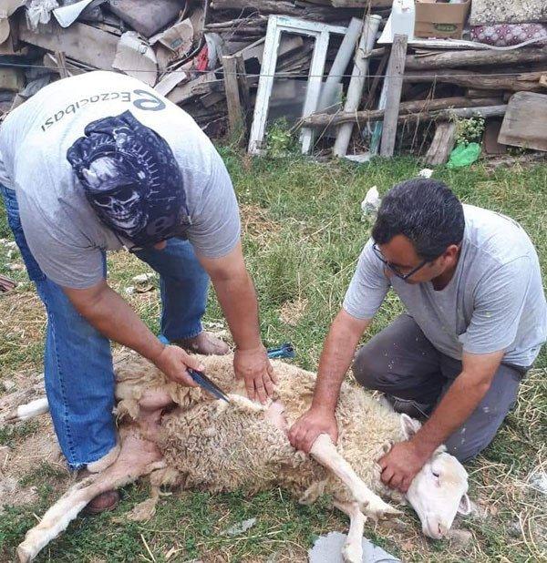 koyun kırma ne zaman nasıl yapılır