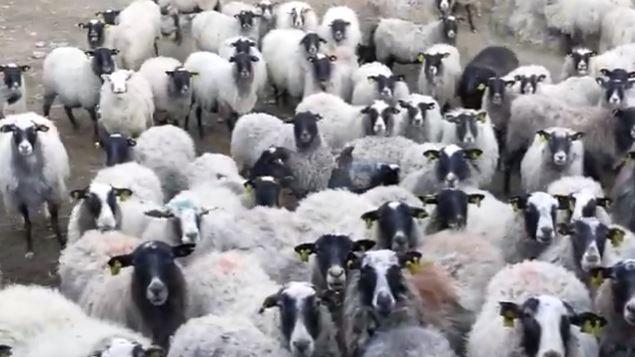 En çok kuzulayan koyun cinsi