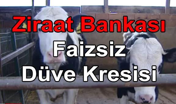 ZiraaT Bankası Faizsiz Damızlık Düve Kredisi